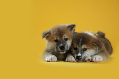Adorable Akita Inu puppies on yellow background. Space for text