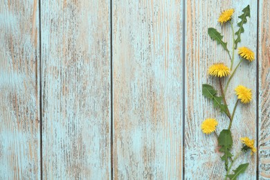 Flat lay composition with beautiful yellow dandelions on light blue wooden table. Space for text
