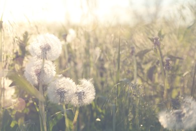 Beautiful fluffy dandelions growing outdoors on sunny day. Meadow flowers