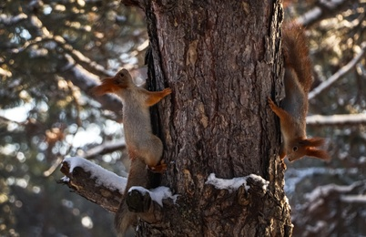 Cute squirrels on pine tree in winter forest