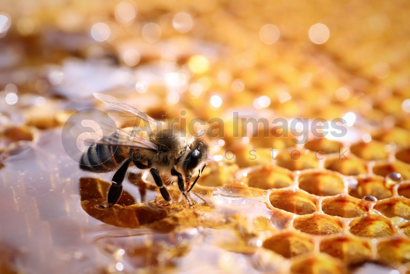 Closeup view of fresh honeycomb with bee