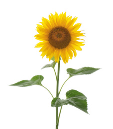 Beautiful bright blooming sunflower isolated on white