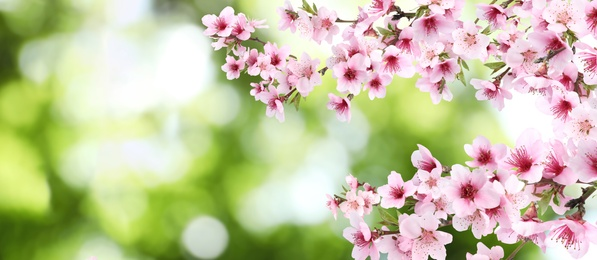 Amazing spring blossom. Tree branches with beautiful flowers outdoors, banner design
